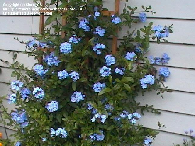 21 Best Plumbago Images On Pinterest Flowers Beautiful