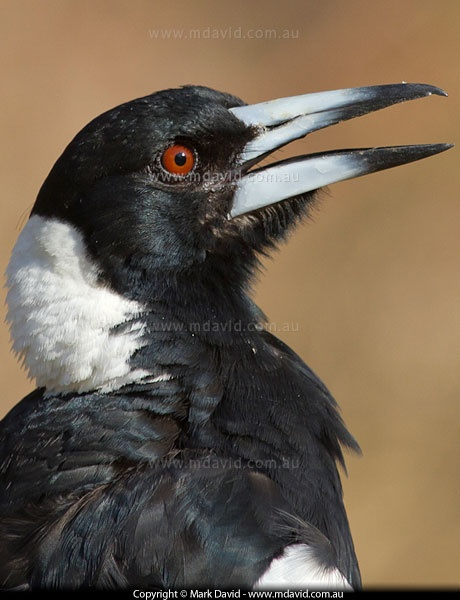 This is a young Magpie,it would be still being fed by its parents