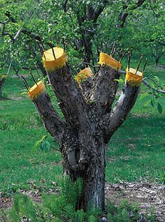 Top worked fruit tree ~ must find out more. This might just work with the older apple trees surrounding the property