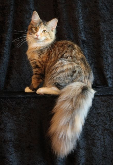 Maine Coon - Brown Patch Mackerel Tabby with White | Cats ...