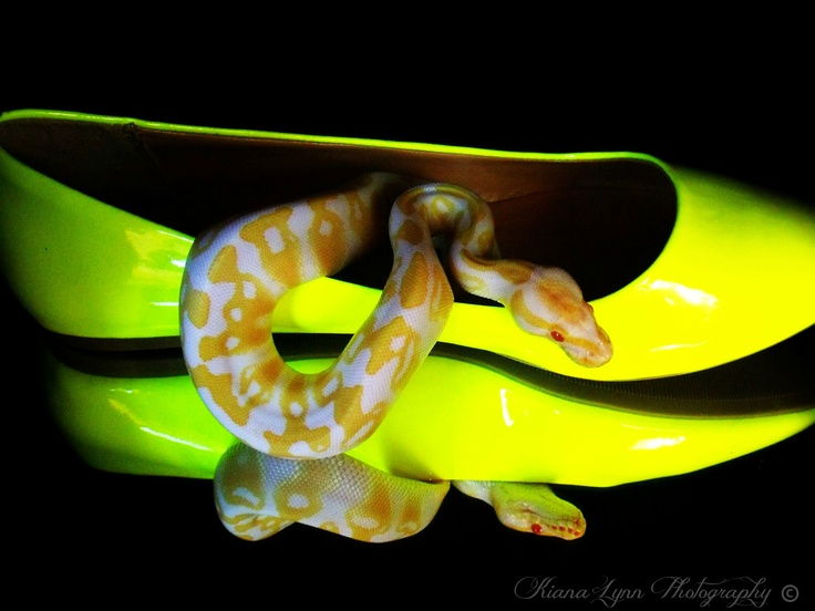 Albino ball python sitting in yellow shoe on a mirror with black background.