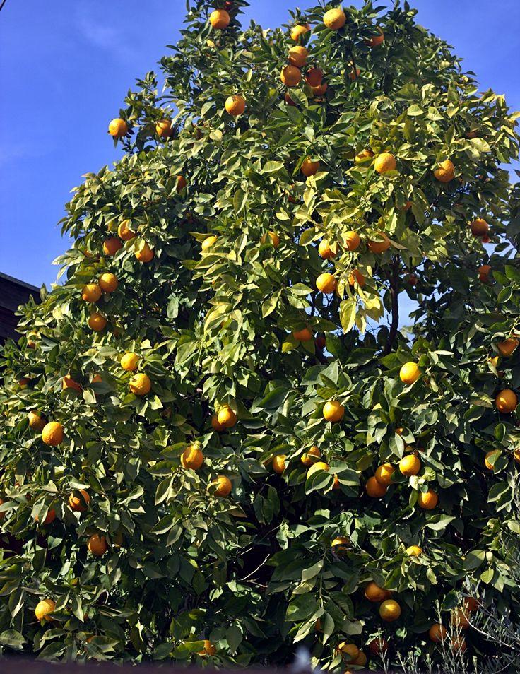 Bitter orange tree in my neighborhood