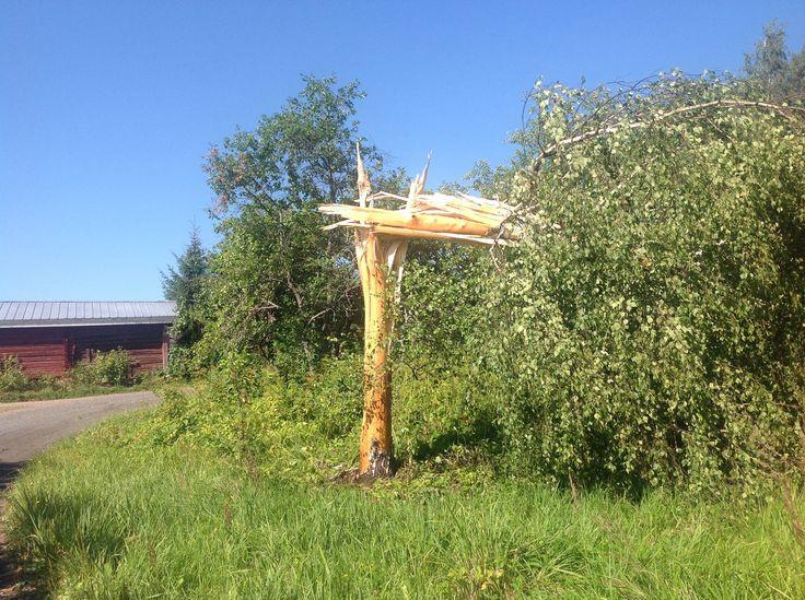 Salama iski ihan lammashaan vieressä puuhun ja kuori sen täydellisesti. Seuraavan päivän myrsky vielä viimeisteli. Heinäkuu 2014.