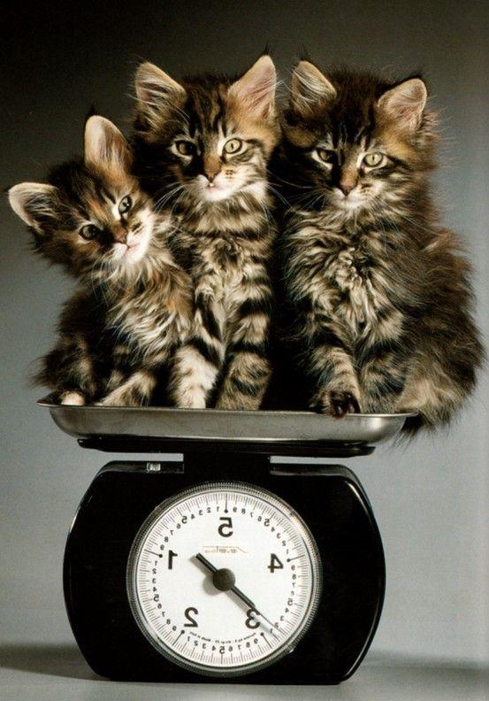 Maine Coon kittens. A pound a piece.