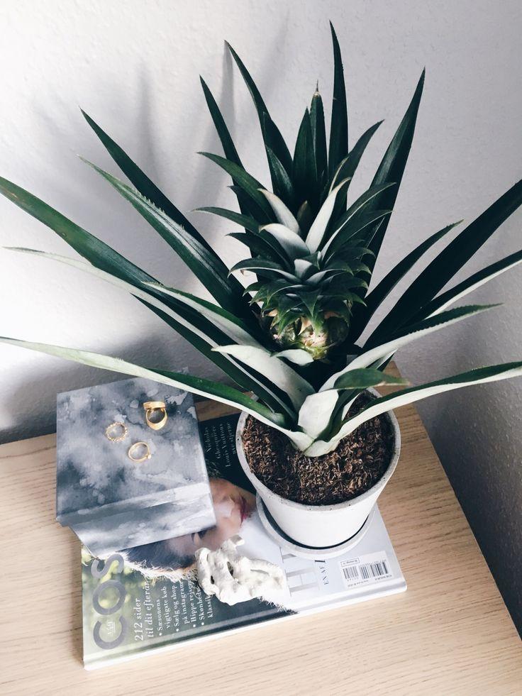 Soveværelses plante - ananasplante