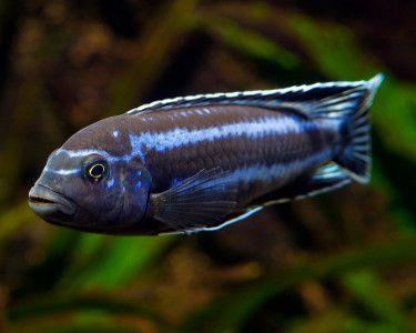 Mellanochromis cyaneorhabdos (Maingano Cichlid) African