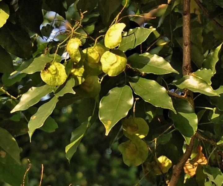 Angsana, Sonokembang; Pterocarpus indicus; angsana, babaksana (Btw.); sana kembang (Jw., Md.); Malay padauk, red sandalwood, amboyna (bahasa Inggris); Tanaman peneduh (menyerap polusi udara). Angsana ditanam sebagai pagar hidup dan pohon pelindung di sepanjang tepi kebun wanatani. Perakarannya yang baik dan dapat mengikat nitrogen, mampu membantu memperbaiki kesuburan tanah. Daun, akar, batang, daun untuk obat herbal.