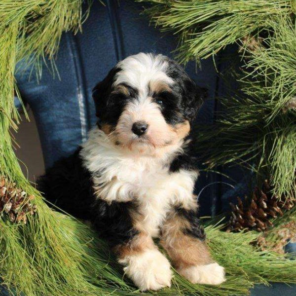Chapman Mini Bernedoodle Puppy For Sale In Ohio In 2020