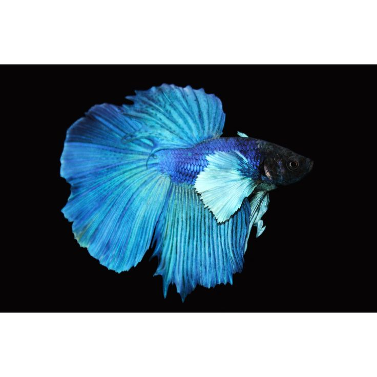 Elephant ear halfmoon betta my pet dreamboard for Betta fish tanks petco