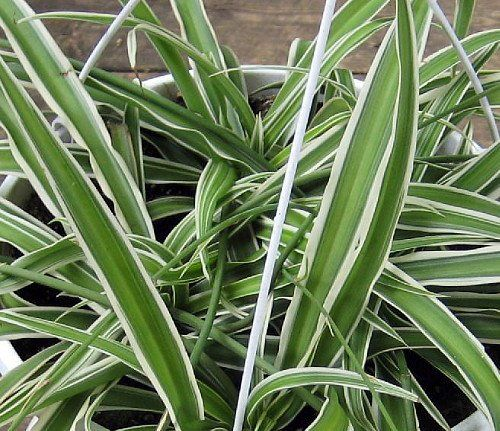 Growing Spider Plants Indoors: 30 Best ♥ My Spider Plants Images On Pinterest