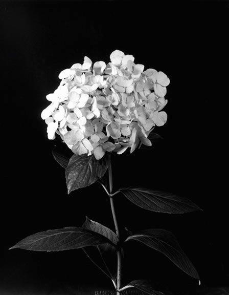 Imogen Cunningham, Hydrangea  #photography #blackandwhite #flowers
