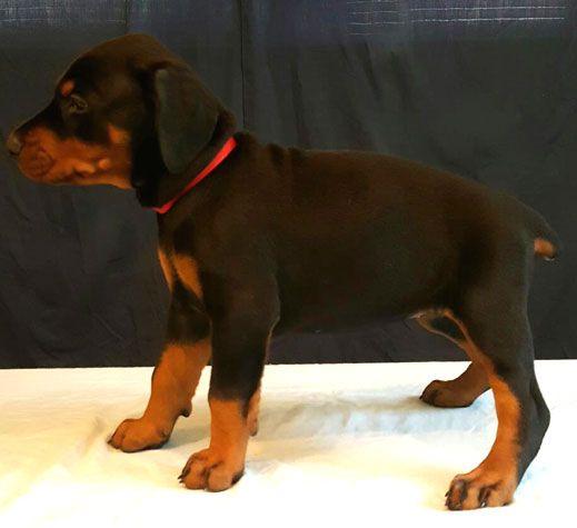 Doberman Puppies For Sale Female European Bloodlines Born April