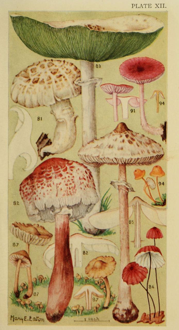 Mycology :): Books, Vintage Illustrations, Botanical Prints, Botanical Illustrations,  Comforter,  Puff, Scientific Illustrations, Mushrooms Prints, Fields