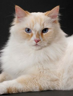Good Information about Ragamuffin cat