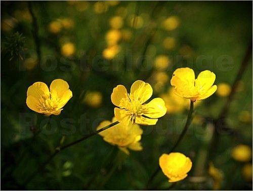 ANOWI - Gelbe Wiesenblumen  als Poster/Leinwanddruck/Forex oder Alu Dibond