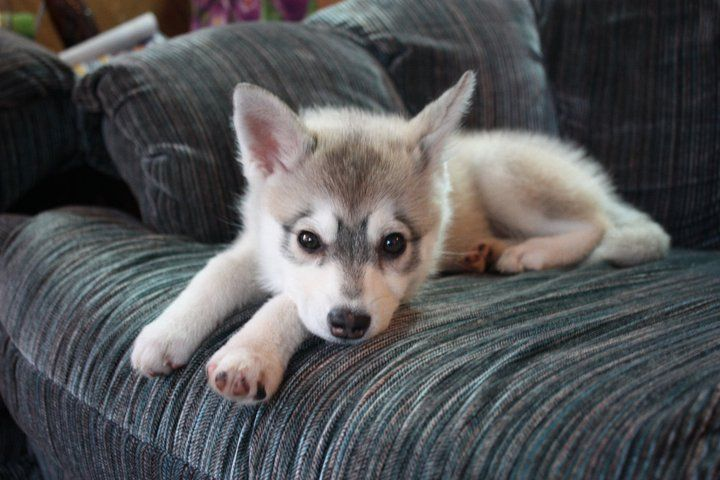 Try saying no to this face. Our mini-husky, Juno. - Imgur