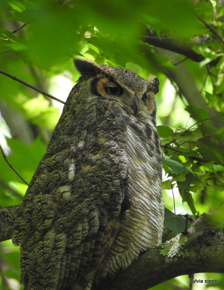 Great horned owl Talon