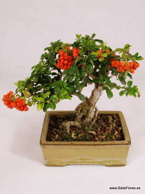 Venta Online de bonsáis en Zaragoza. SieteFlores. Bonsáis a domicilio. Compra tus bonsáis, plantas, flores por Internet en Zaragoza - Tienda Online de Flores en Zaragoza. Siete Flores