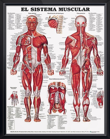 El sistema muscular SPANISH (español) anatomy poster shows anterior and posterior views of the human male muscles. Chart for doctors and nurses.
