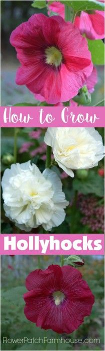 How+to+Grow+Gorgeous+Hollyhocks+in+your+Cottage+Garden,+FlowerPatchFarmhouse.com