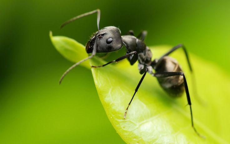 Como Preparar Un Spray Casero Eficaz contra las hormigas. Las hormigas son insectos que pueden acabar con tu paciencia porque causan molestias a la hora...
