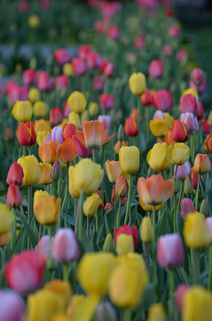 tulipsTulip Fields, Favorite Things, Spring Colors, Front Yards, Gardens, Beautiful Flowers, Spring Tulip, Flower Fields, Favorite Flower