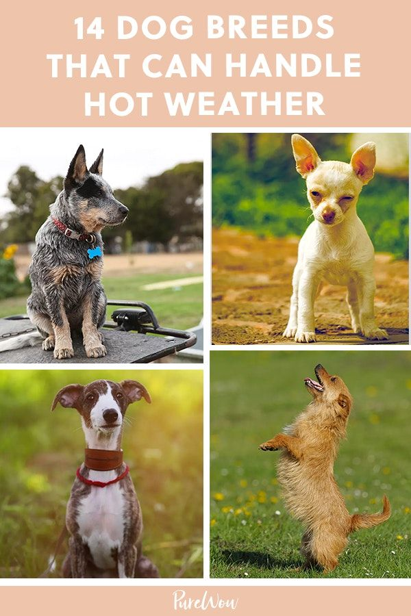 14 Dog Breeds That Can Handle Hot Weather Purewow Family Dogs Pet Dog Breeds Big Dog Breeds Dogs