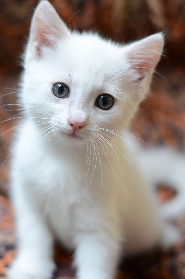 Best 25 White kittens ideas on Pinterest