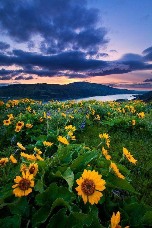 Sunflowers, Rowena Crest, Washington