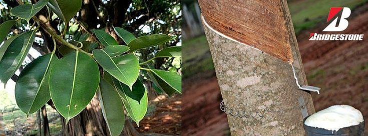 BRIDGESTONE COM TÉCNICA PIONEIRA | Com a introdução desta técnica, a Bridgestone apoia, assim, a conservação das árvores-da-borracha seringueiras e contribui para um fornecimento mais estável de borracha natural.  #bridgestone #lusomotos #pneus #borracha #seringueira #árvores #borrachanatural