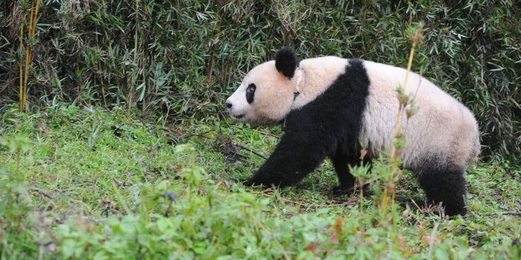 BEIJING (AP) — Wild giant pandas in China are doing well.               The latest census by China's State Forestry Administration shows the panda population has grown by 268 to a total of 1,864 since the last survey ending in 2003.          ...