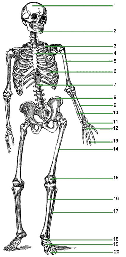 17 best ideas about human skeleton labeled on pinterest | human, Skeleton