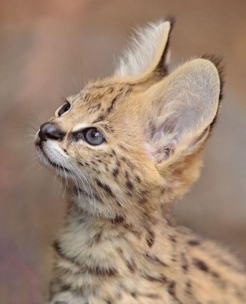 """sdzoo:  """"Serval Kitten Portrait by Mike Wilson  """""""
