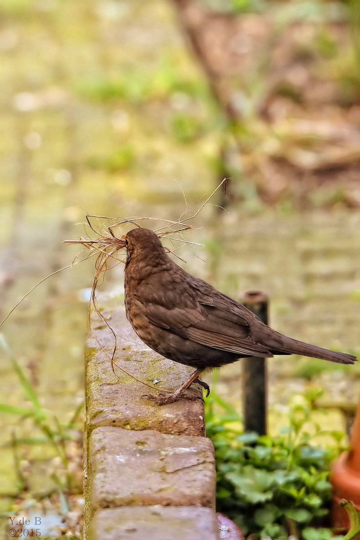 Blackbird collecting nesting material. Turbo Charge Read all updates http://youtu.be/LyO3EkP1TdY