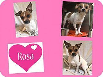 Plano, TX - French Bulldog/Beagle Mix. Meet ROSA, a dog for adoption. http://www.adoptapet.com/pet/17602099-plano-texas-french-bulldog-mix