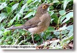 Bare-eyed Thrush  http://birds-of-tobago.blogspot.com/2013/10/bare-eyed-thrush.html  #Bare-eyed Thrush #thrush #thrushes #birds #Tobago #West Indies #Caribbean