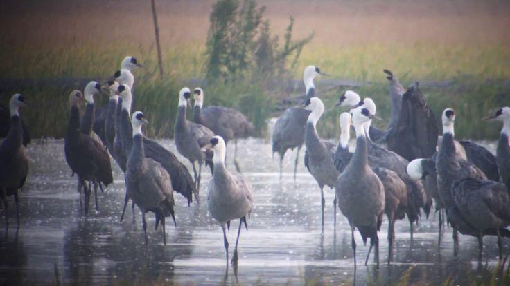 ナベヅル Hooded crane