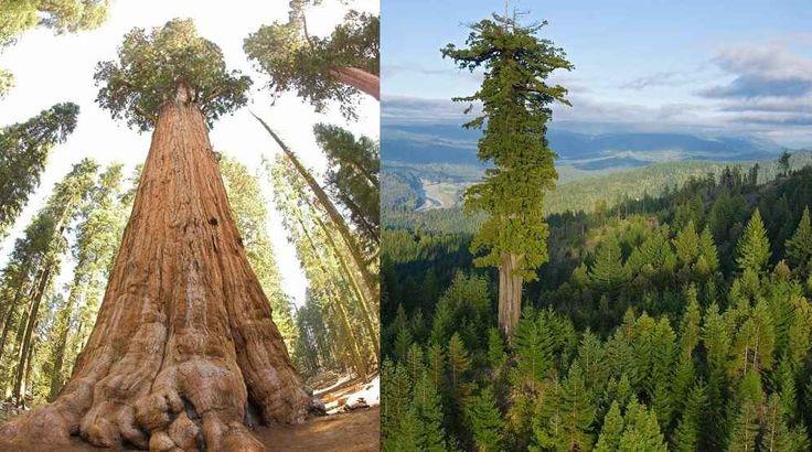 Gli alberi più grandi del mondo si trovano in California Gli alberi più grandi e alti del mondo si trovano negli Stati Uniti 'd'America, per essere più precisi, nella California settentrionale. In California ci sono due parchi nazionali noti per i suoi al #albero #pianta #sequoia #grande