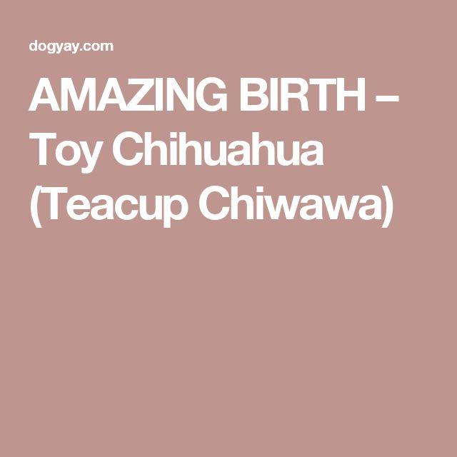 AMAZING BIRTH – Toy Chihuahua (Teacup Chiwawa)