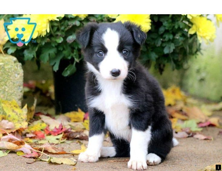 Find Out About Pug Puppies For Sale Near Me Just Click On The Link To Learn More Viewing The We Collie Puppies For Sale Collie Puppies Border Collie Puppies