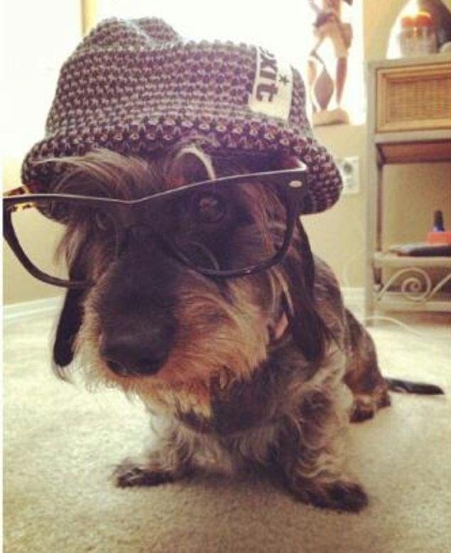 Hipster wire haired dachshund.