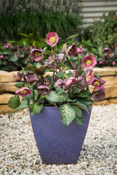 Hellebore Isabella's Charm