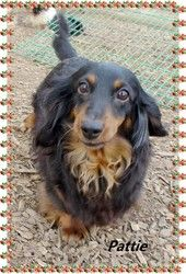 PATTIE is an adoptable Dachshund Dog in Toledo, OH. My name is Pattie and I am a 2008 model. I was a breeder dog but those days are behind me and I am looking for a family that wants to love me forev...