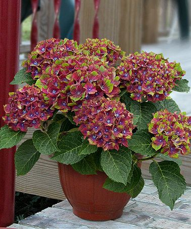 Another great find on #zulily! Live 'Pistachio' Hydrangea - Set of Two #zulilyfinds