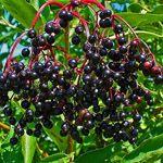 Vlierbes 'Haschberg' - Fruitbomen en -struiken