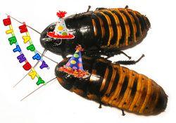 Happy Birthday Madagascar Hissing Cockroaches