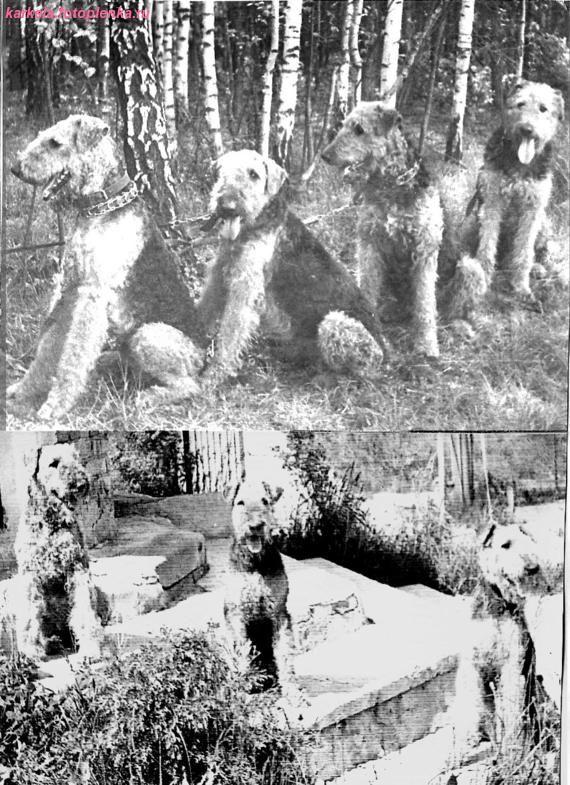 Старые открытки и фотографии с собаками эрдели