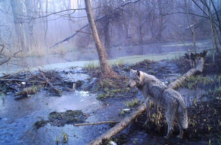 Decades After Chernobyl & Here's What Radioactivity Is Doing To Wildlife