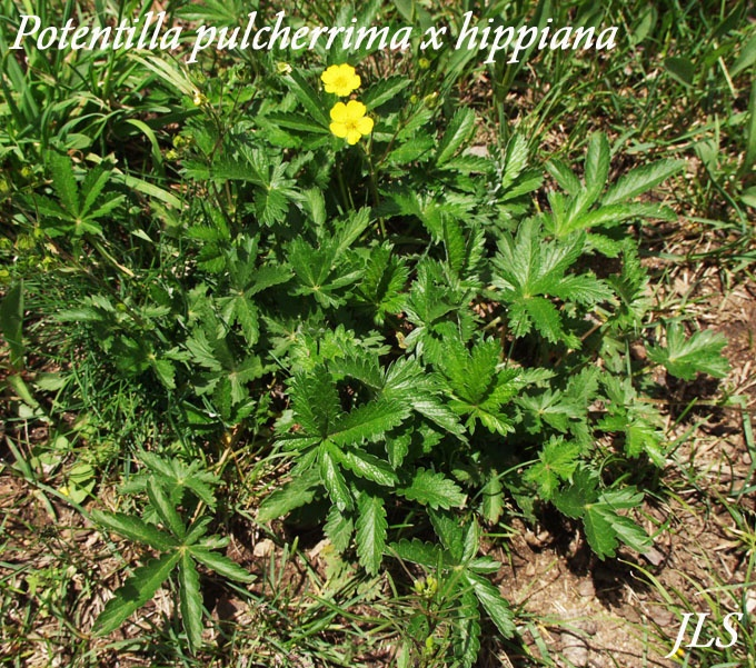 I think this is what is in my backyard the leaves look like marijuana potentilla pulcherrima x - Like that garten ...