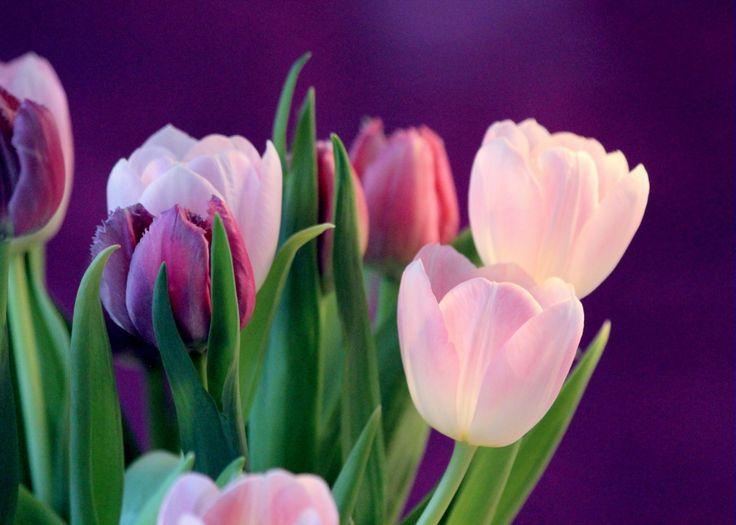 sempre tulipas